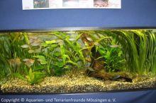 Regenbogenfische_und_Skalare