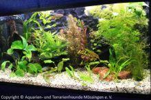 Makropoden_Aquarium