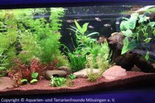 Keilfleckbarben_Aquarium