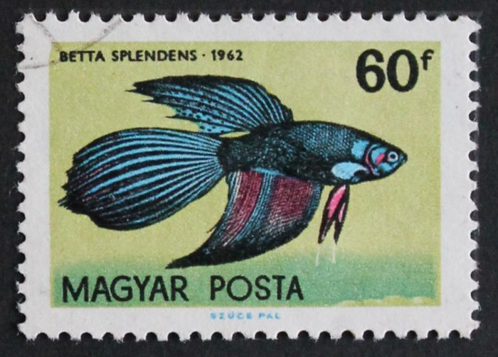 Betta_splendens_UNGARN.jpg